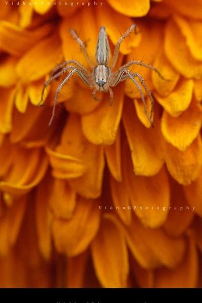 Crab spider on orange flower