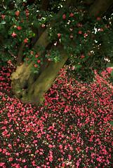 Blüten über Blüten in Pillnitz