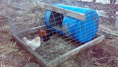 new chicken accomodations 2.jpg