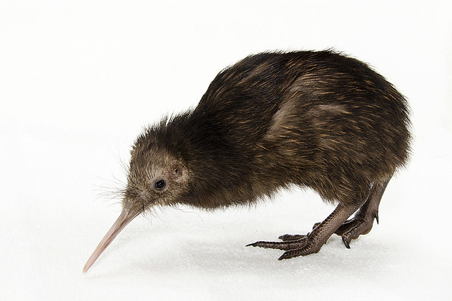 New Zealand Ambassador Names National Zoo Kiwi Chick