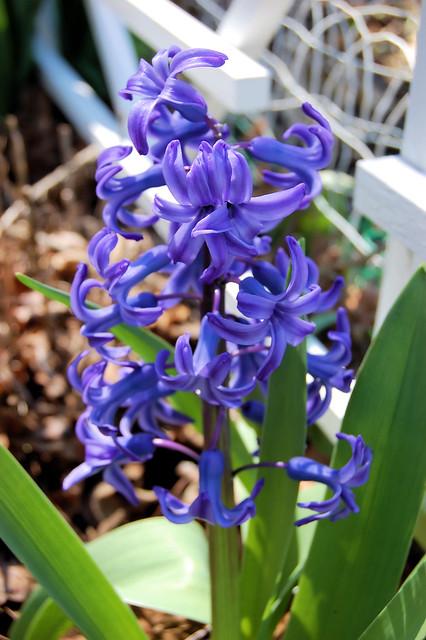 Blue Hyacinth bloom