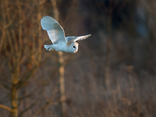 Barn Owl-evening light