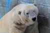 Eisbär Tim in der Monde Sauvage Safari in Aywaille