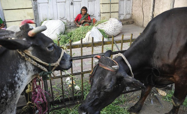 Kokila, feeding buffaloes, Pune
