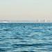 Lone dolphin swims against santa monica smog