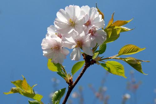 Arbres en fleurs HD-005