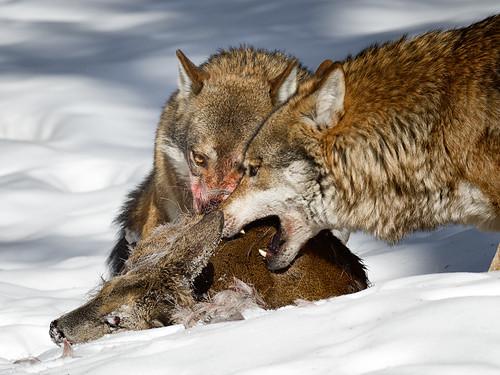 Wolf-eye