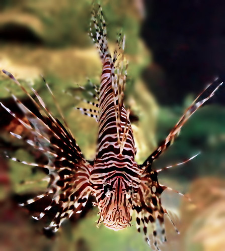 Lionfish tamer am I!