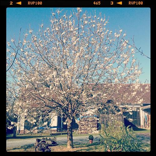 Kirschbaumgebrumme