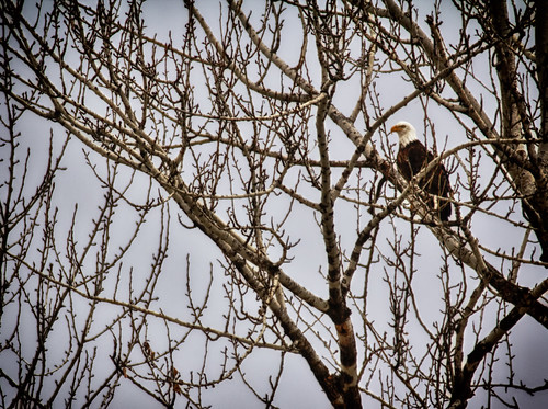 Bald Eagle in a Tree by Kevin Rank