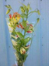 gloriosa lily bulbs