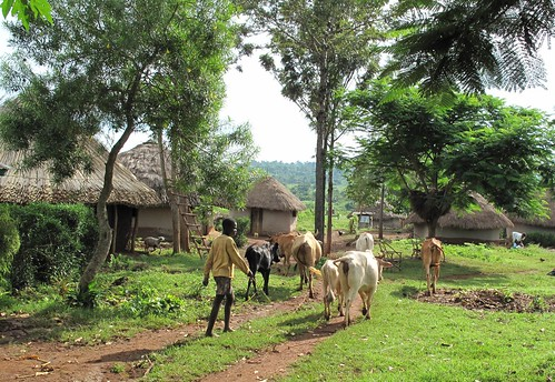 Typical mixed crop-livestock farming of western Kenya