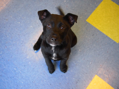 Lab Mix Puppies (P10)