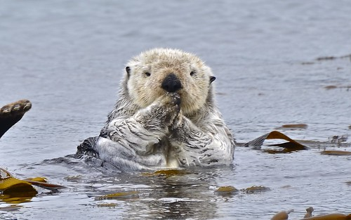 a fuzzy sea otter rises out of floating kelp, looking straight at the camera. Its paws are pulled up to its mouth, as if to say 'oops'.