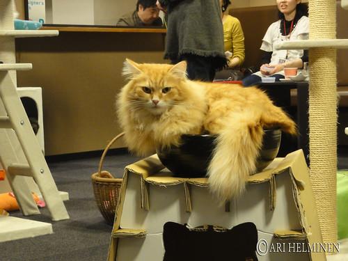 Cat Cafe Shinjuku calico