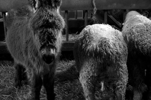 Donkey and Sheep