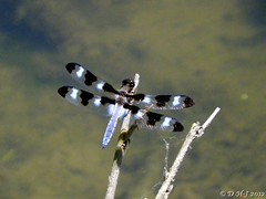 Male 12 Spotted Skimmer