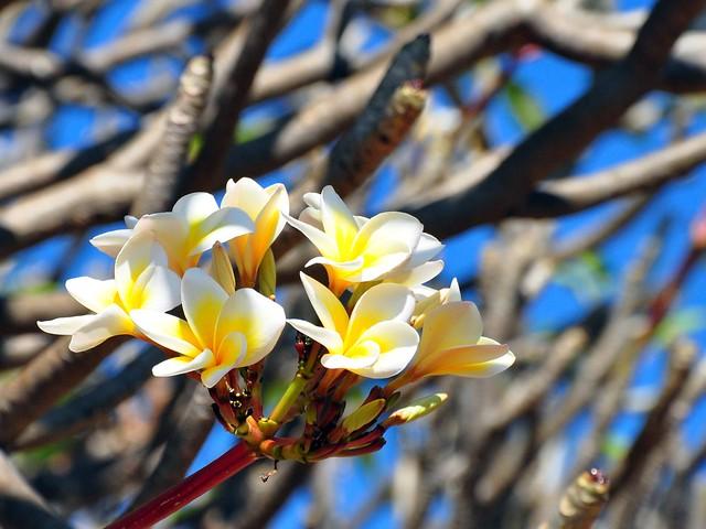 Thailand Blossoms
