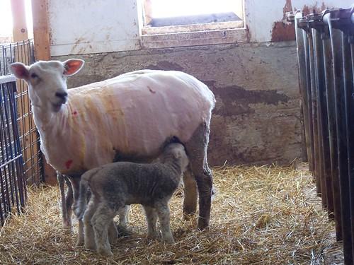 surprise lambs2