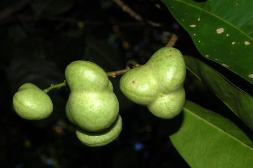Lindsayomyrtus racemoides