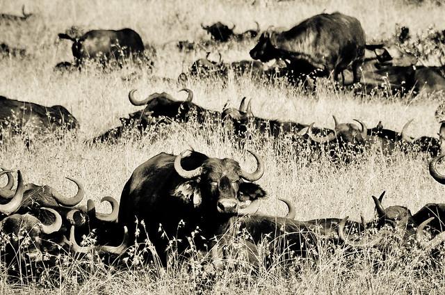Water Buffalo 4