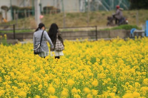 みなみの桜と菜の花まつり 2012