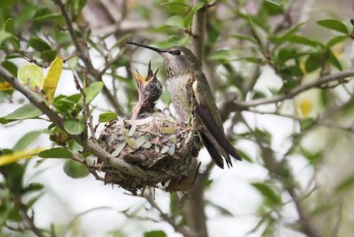 Hummingbird nest and chicks
