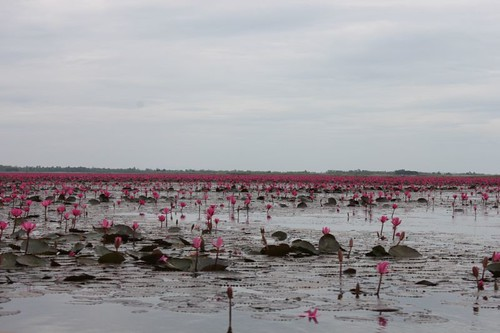 20120113_1691_pink-water-lilies