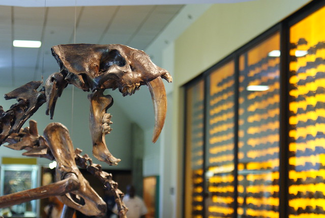 Smilodon at the Page Museum at the La Brea Tar Pits. Image by Dallas Krentzel