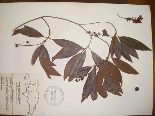 Byrsonimia spicata