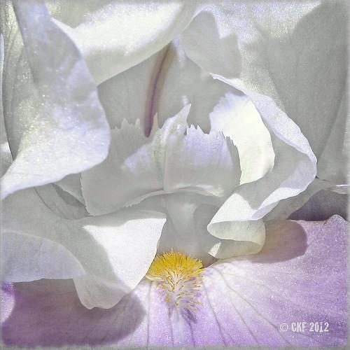 Immaculate Iris