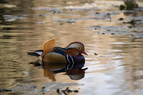 Mandarin Duck - Norway by drobi_123