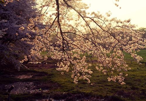 Sunset cherry