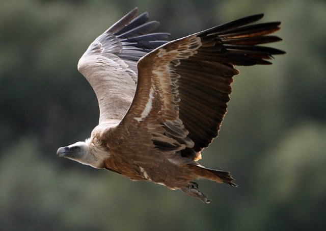 2012_03_03 MON - Griffon Vulture (Gyps fulvus) 05