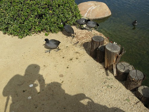Coots coming on land