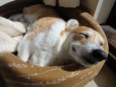 お昼寝ココちん♪