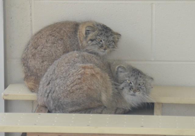 Pallas Kittens