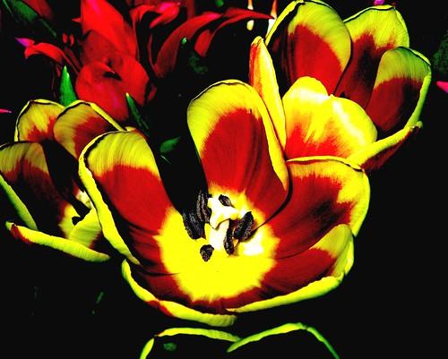 Tulips effecte , 38-60
