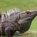 Garrobo / Spiny tail Iguana (Costa Rica)