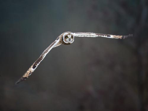 Short-eared Owl_4