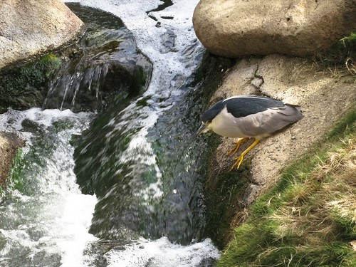 Black-crowned night heron fishing