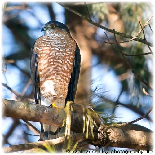 Sharp Shinned Hawk by H.Conley