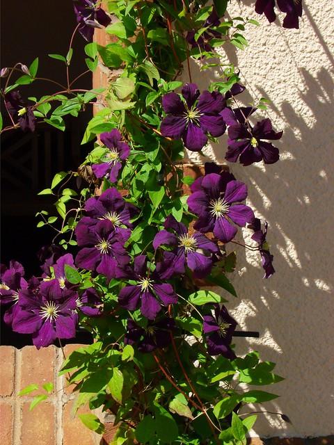 Purple Climbing Flowers  Flickr  Photo Sharing