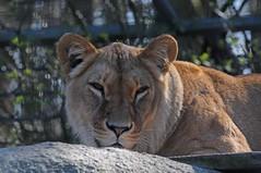 Afrikanische Löwin Azana im Zoo in der Wingst