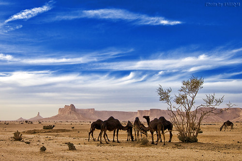 Camels Life by TARIQ-M