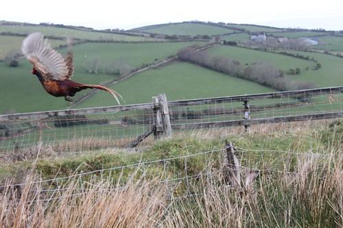 IMG_4242_pheasant