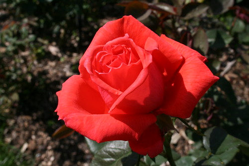 Brilliant Red Rose