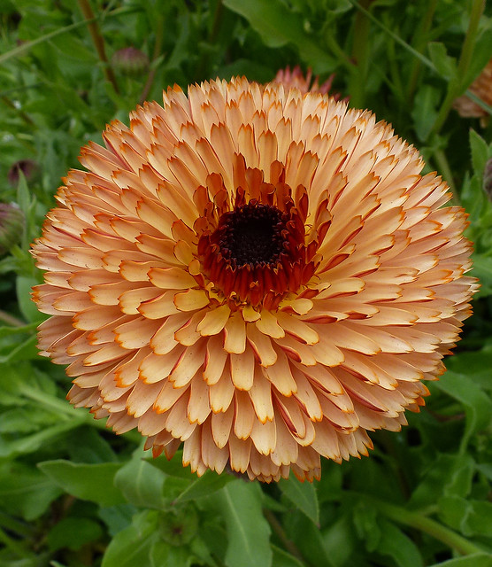 Calendula Bronze Beauty close PERFECT