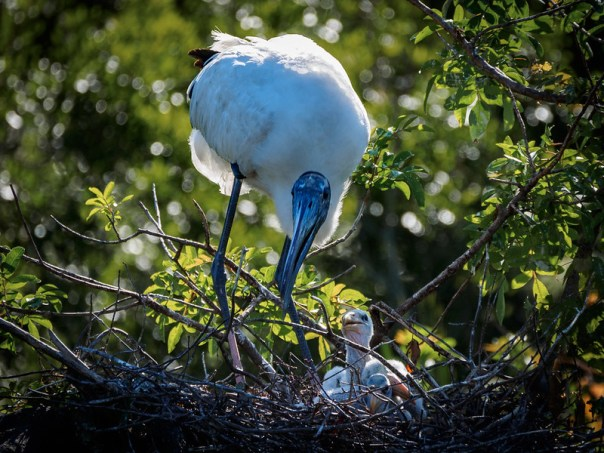 Woodstork Mom and chicks