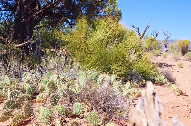 Prickly pear cactus and Mormon tea, Natural Bridge National Monument, Utah, September 29, 2011